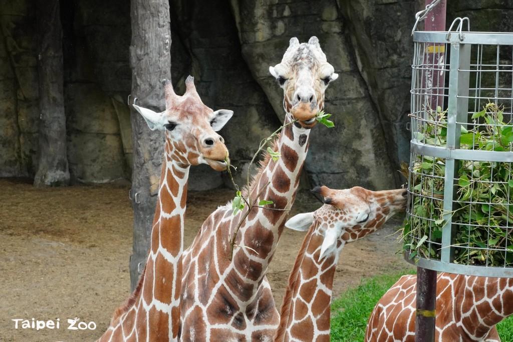 台北動物園:非洲長頸鹿舌頭達50公分  採嫩葉可清耳朵