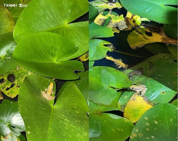 臺北赤蛙。(照片由Taipei Zoo提供,Taiwan News後製)
