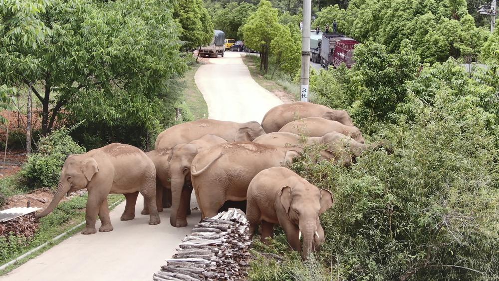 進入昆明後四處亂逛的象群。(圖/美聯社)