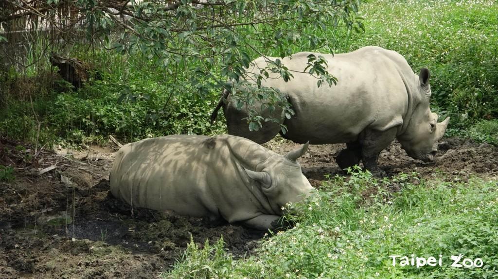 瀕絕白犀牛自在玩泥巴 臺北動物園期盼誕下新成員