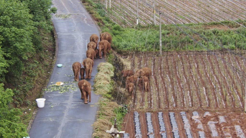 Migrating elephant herd headed into China's Kunming in June 2021.