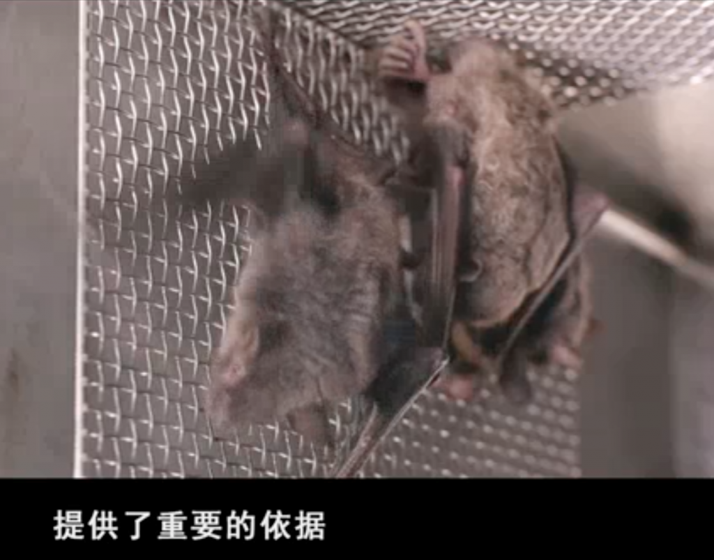 Bats shown in a promotional film on Wuhan Institute of Virology. (Chinese Academy of Science, website screenshot)