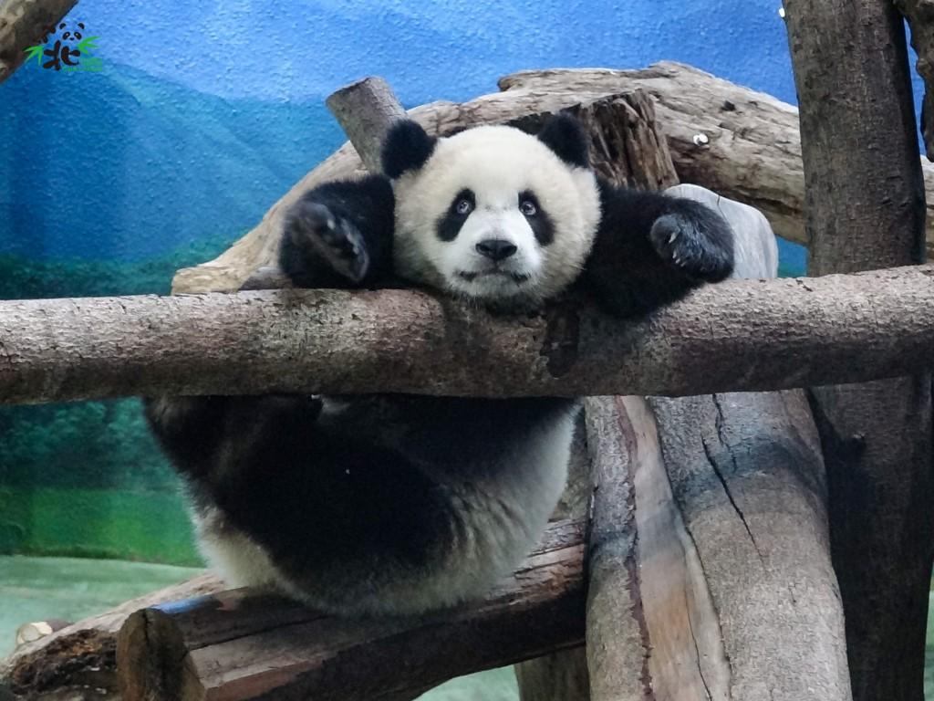 古靈精怪的「圓寶」。(照片由Taipei Zoo提供)
