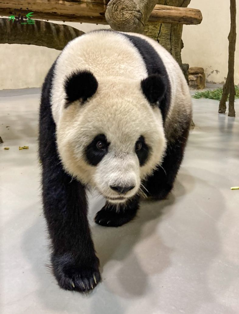 台北動物園:大貓熊圓寶實體抓周取消 多元平台推「療癒吃播」及慶生叭
