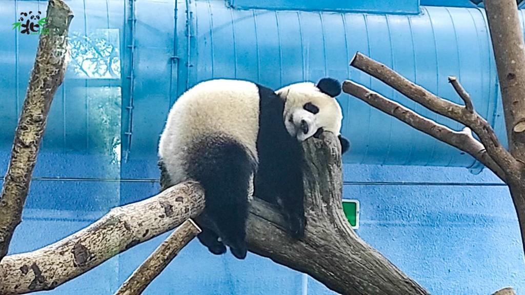 臺北動物線上直播大貓熊圓寶抓周活動 營養調配師獲得青睞