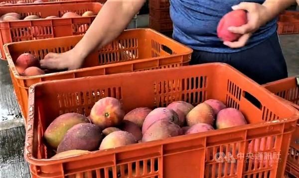 Taiwanese rush to support Fangshan mangoes
