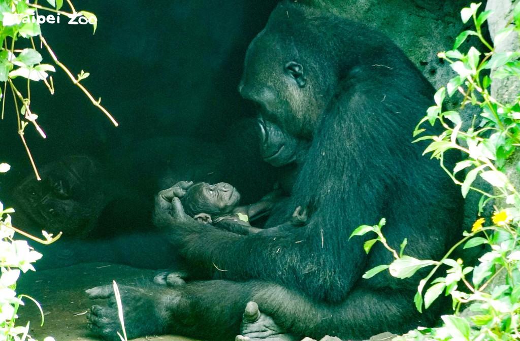 「Iriki」看著寶寶的眼神充滿了慈愛。(照片由Taipei Zoo提供)