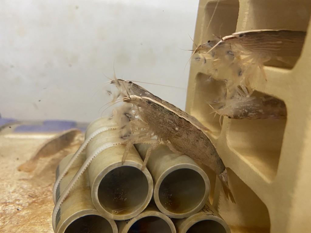 臺灣原生匙指蝦成觀賞水族界新星  預估年產值可超過500萬美元