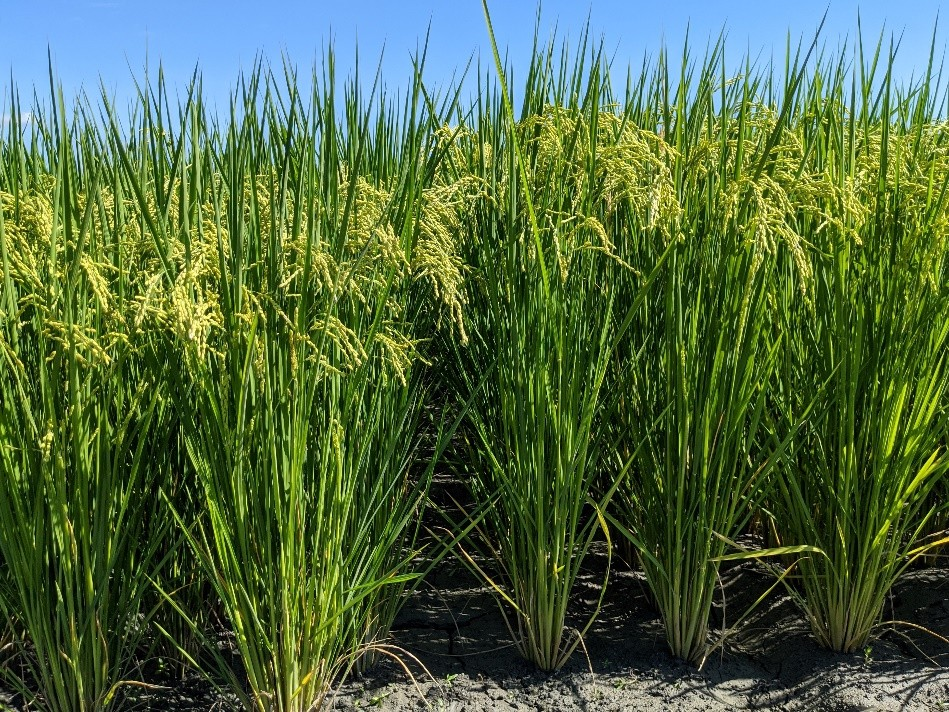 水稻新品種「台農85號」(左圖)株高較原親本矮,與原親本台農71號(右圖)一樣具早熟特性。(照片由行政院農業委員會農業試驗所提供)