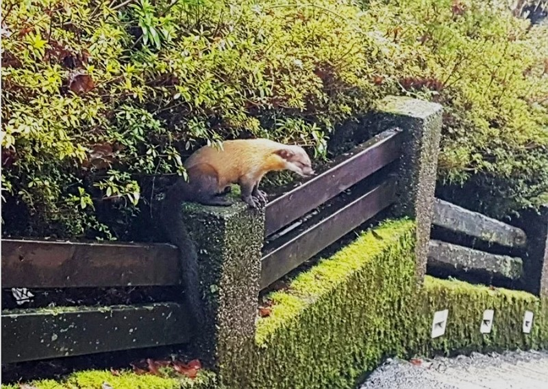 A yellow-throated marten was caught strolling down a path in an accommodation area of Taipingshan. (Forestry Bureau photo)