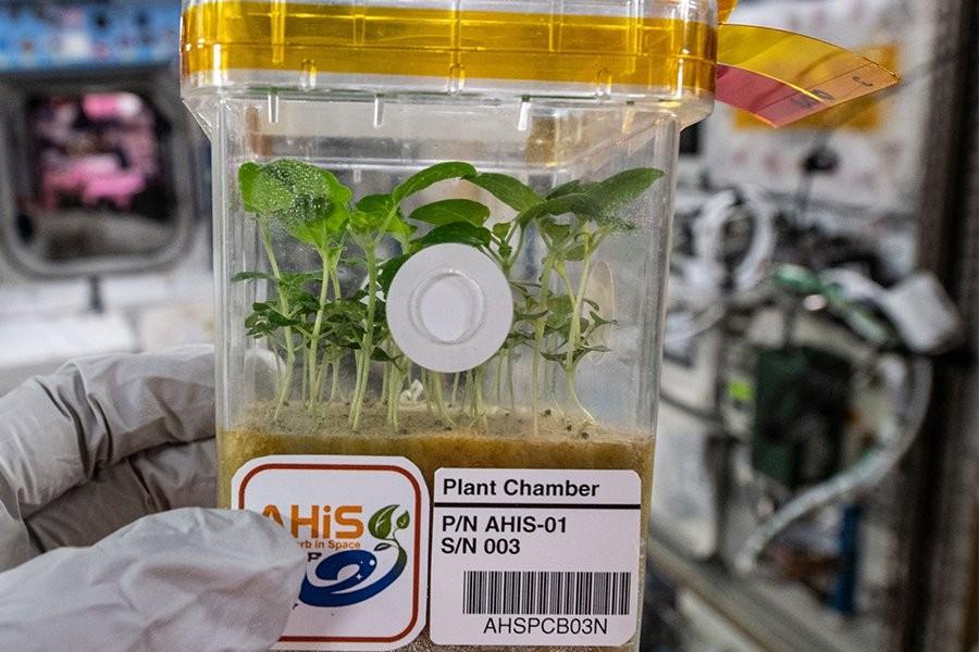 圖為日本甜羅勒種子在太空生長情況(資料來源: JAXA網站)