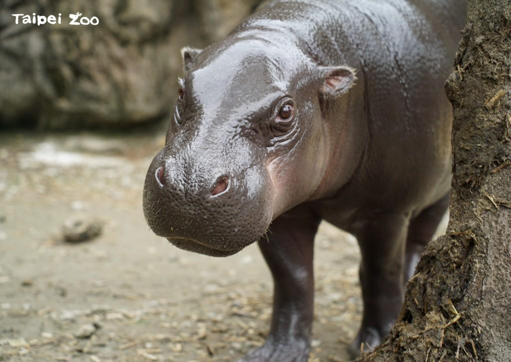 臺北動物園侏儒河馬「秋祥」。(照片來源:Taipei Zoo提供)