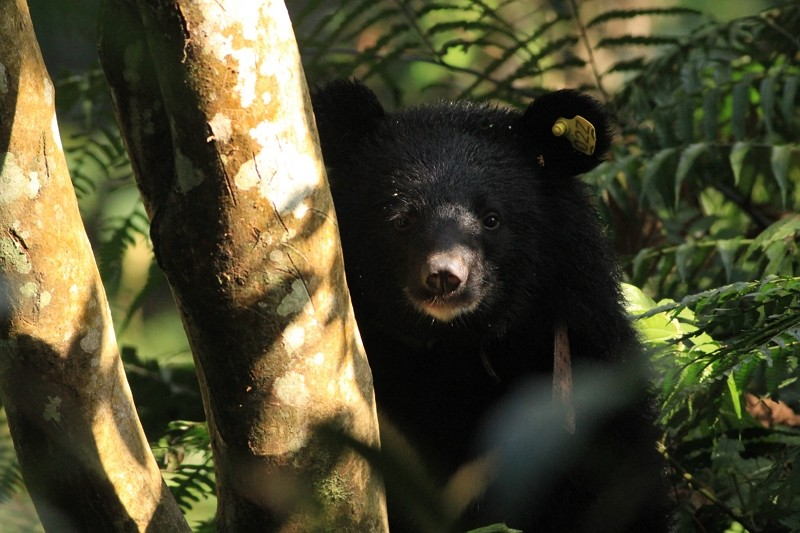 Formosan black bear Mulas in a training center in 2020(Taitung Forest District Office photo)