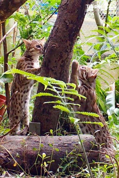 臺灣石虎三胞胎準備獨立!臺北動物園20日直播  大哥小妹參與野放訓練