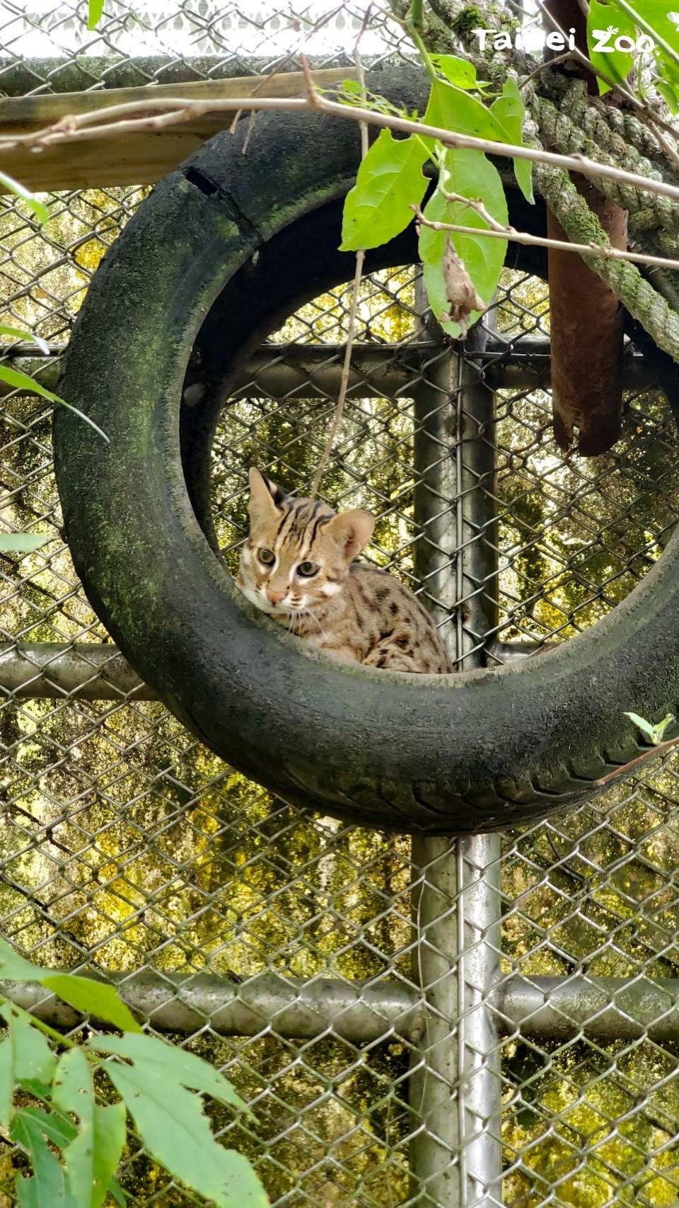 石虎。(照片由Taipei Zoo提供)