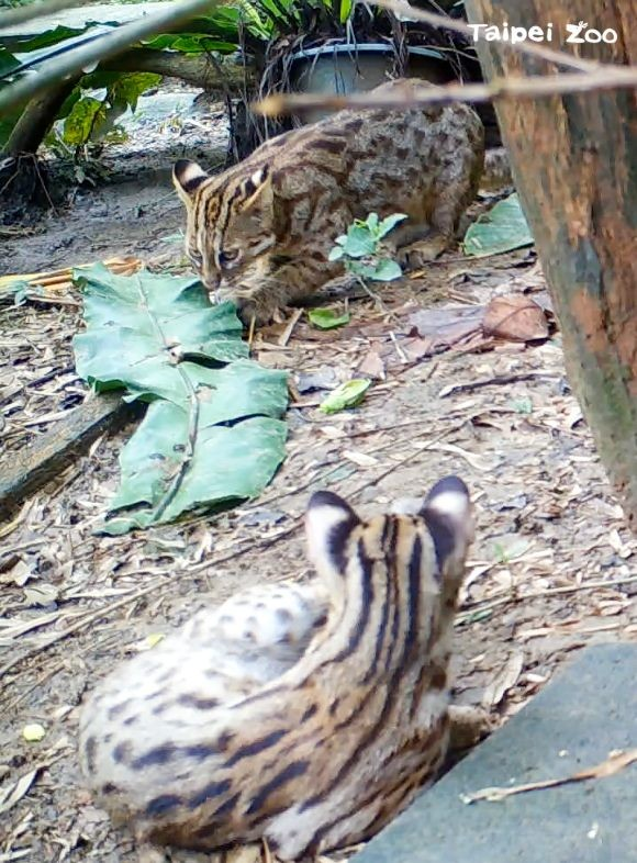 Taipei Zoo to livestream leopard cats leaving for survival training