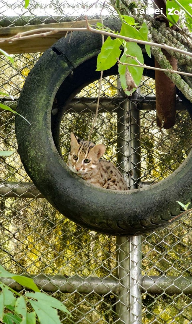 Taipei Zoo to live stream leopard cats leaving for survival training