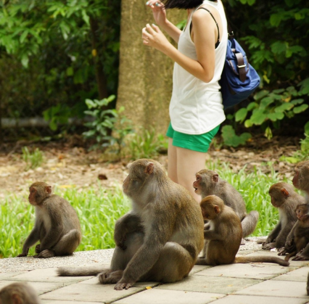 Hikers at Kaohsiung City's Shoushan should avoid contact with macaque monkeys. (CNA, National Nature Park Management photo)