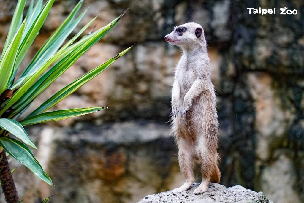 台北動物園:狐獴家族增產  悠閒玩沙不忘守望相助