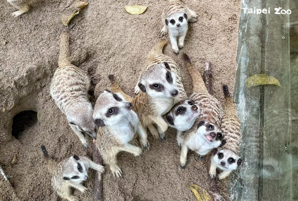狐獴. (照片來源:Taipei Zoo提供)