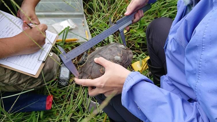 查緝後送瀕危野生龜 2500隻再度悠遊臺灣山林與水域