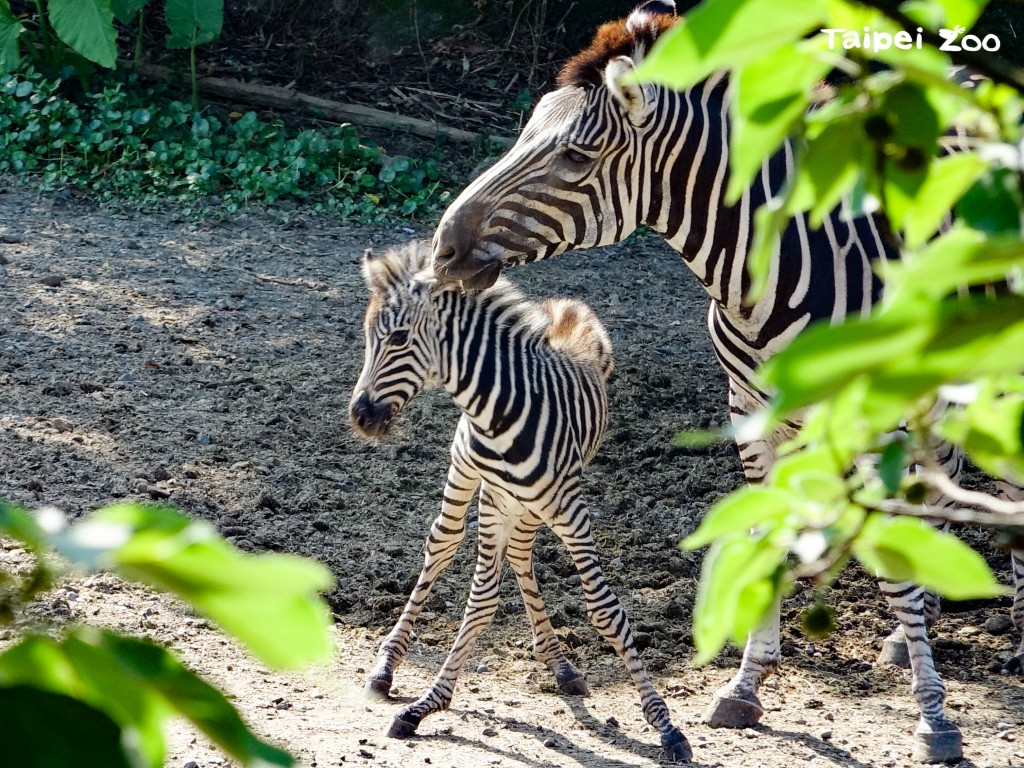 照片來源:Taipei Zoo提供