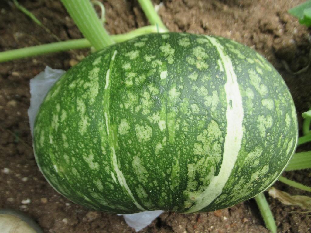 種植南瓜須選對時 高雄場:臺灣栽培季節是品質關鍵