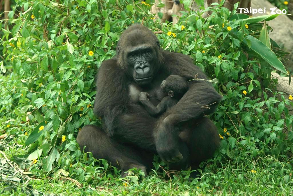 金剛猩猩,媽媽「Iriki」和二寶「Ringo」。(照片來源:Taipei Zoo)