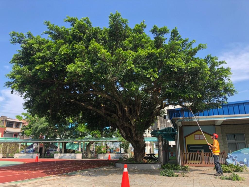 老梅國小珍貴樹木塑身修剪  帶給學童更安全活動空間