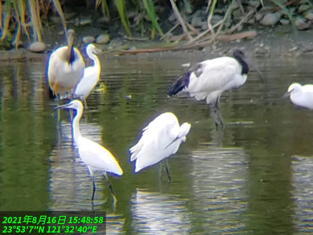 African sacred ibises threaten the survival of indigenous herons. (Hualien Forest District Office photo)