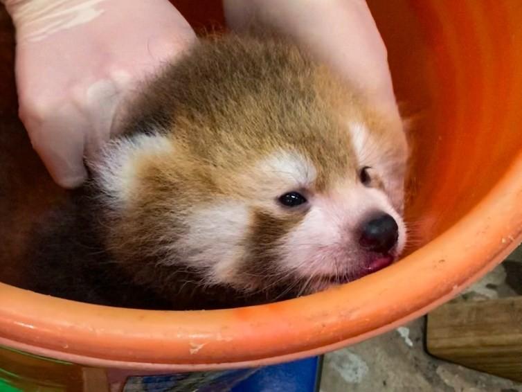 北市動物園表示,溫帶動物區的小貓熊「美可」7月6日產下一子。圖為保育員為小貓熊寶寶秤量體重。(圖/台北市立動物園)