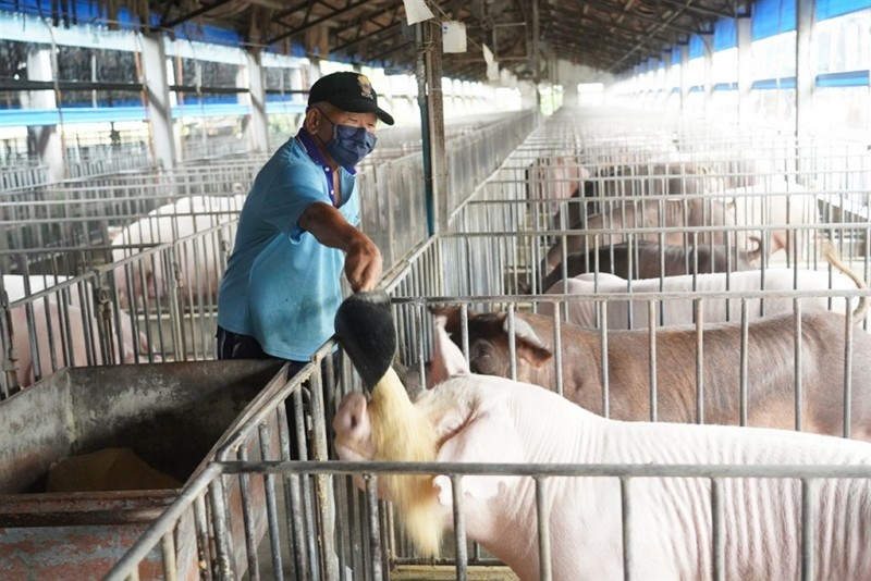 Pig keeper uses dry feed in Kaohsiung.