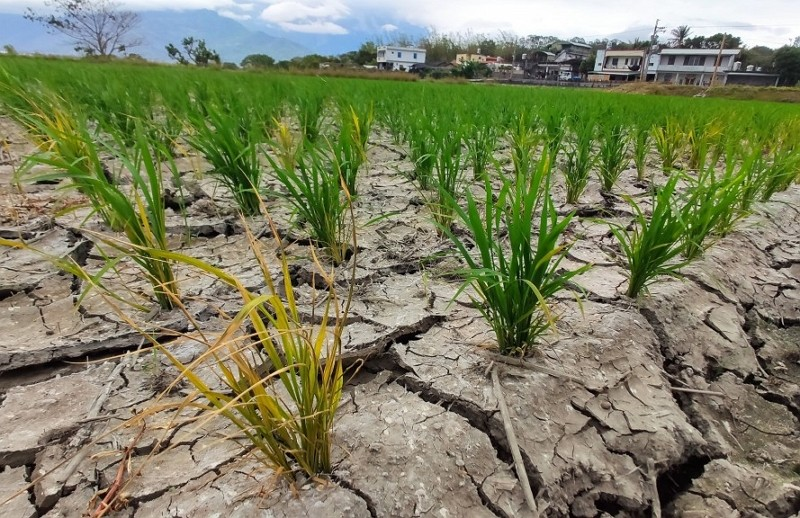 Paddies in Taitung drying up due todrought.
