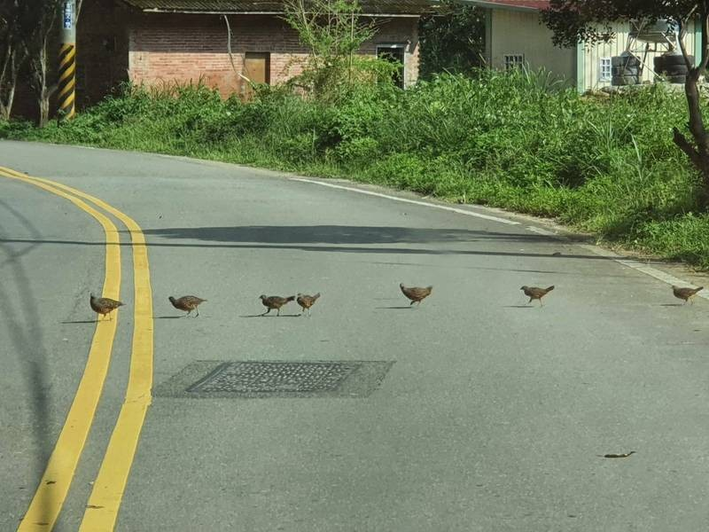 Partridge family crossing the Nantou road in an orderly fashion. (Liao Chia-chan photo)