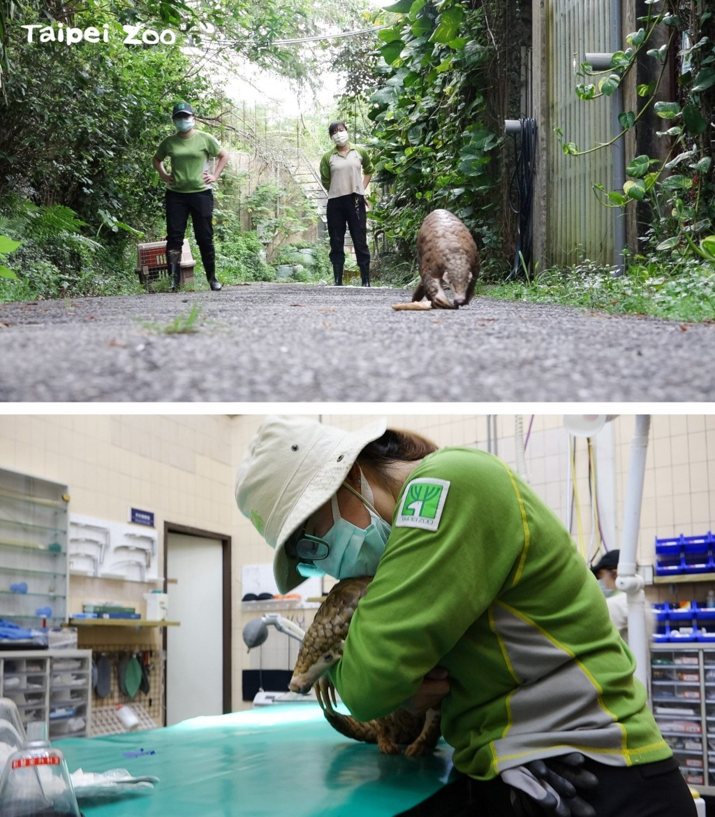 見證台灣近24年穿山甲保育歷程 台北市動物園「穿胖」離世