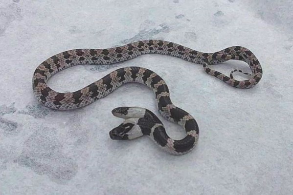 Two-headed snake spotted in Chiayi County. (HsuShao-tang photo)