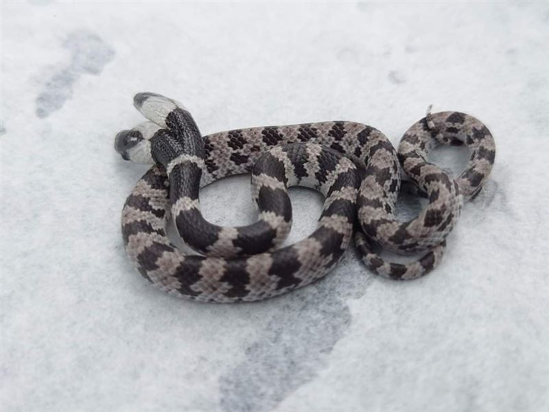 Two-headed snake found in south Taiwan elementary school