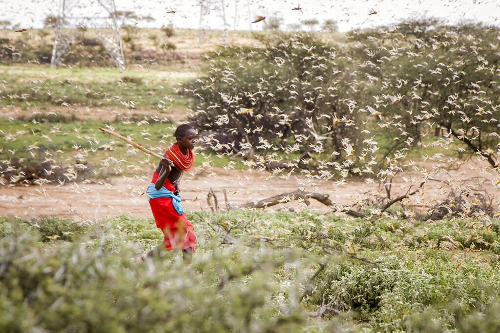 In this file photo taken Jan. 16, 2020, a Samburu boy uses a wooden stick to try to swat a swarm of desert locusts filling the air, as he herds his ca...