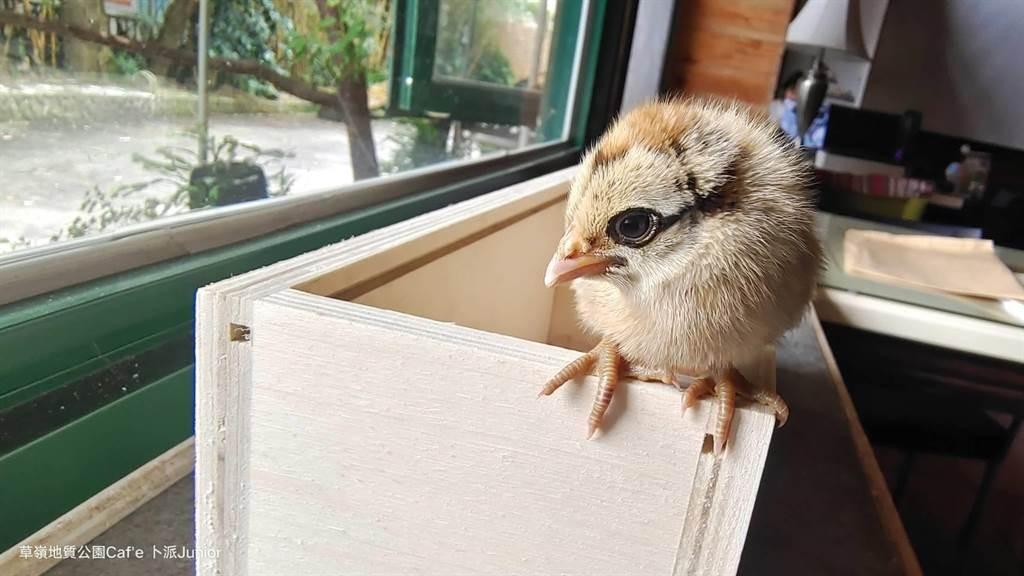 Young pheasant. (Sun Chun-hao photo)