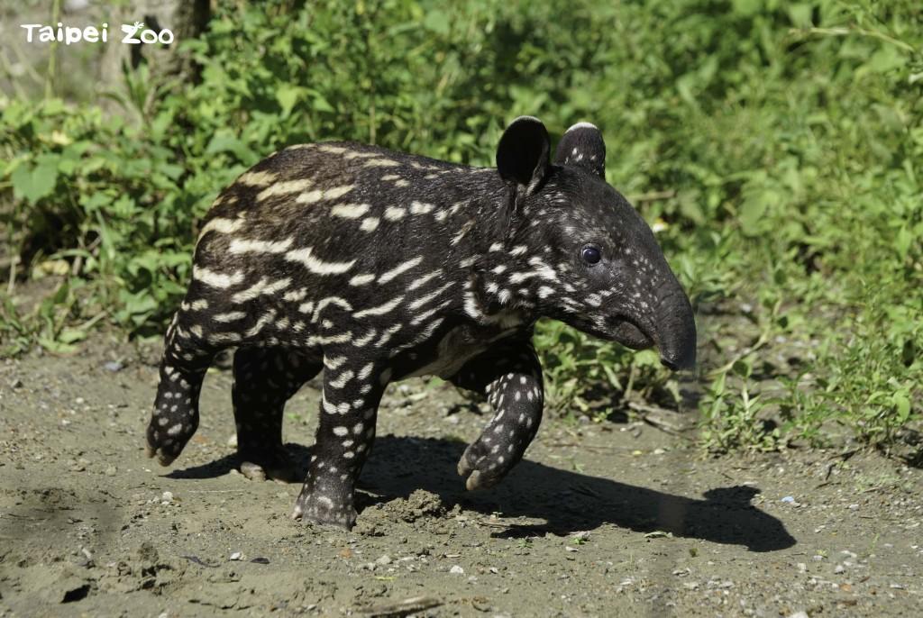 Mo Huadouthe tapir is now 40 days old. (Taipei Zoo photo)