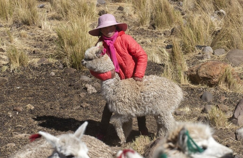 Leila Ccaico, 11, plays with one of her family's alpacas on her family's land in Licapa, Peru, Sept. 2, 2021.