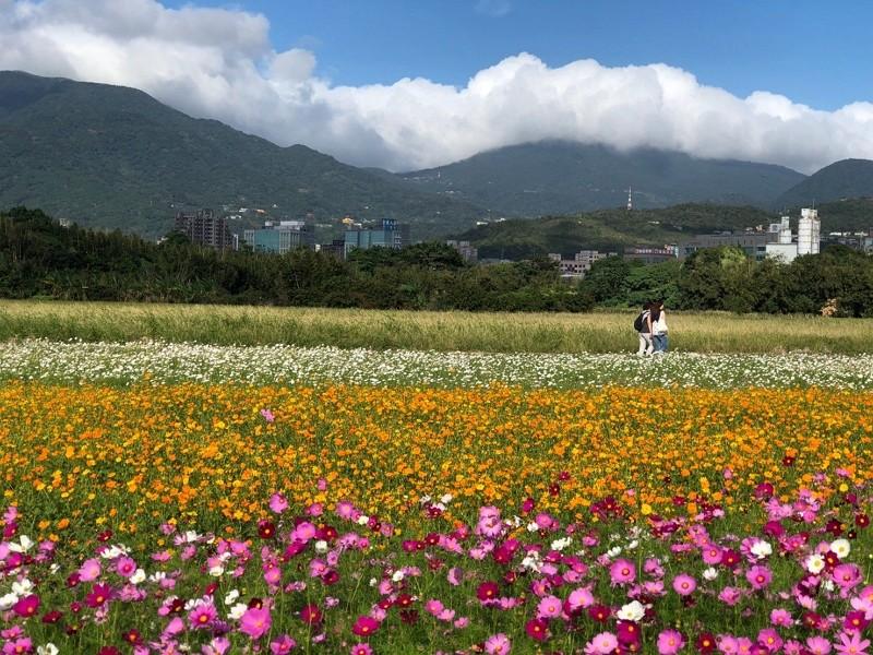 Enjoy burst of flowers at Taipei's Guandu Plain in November