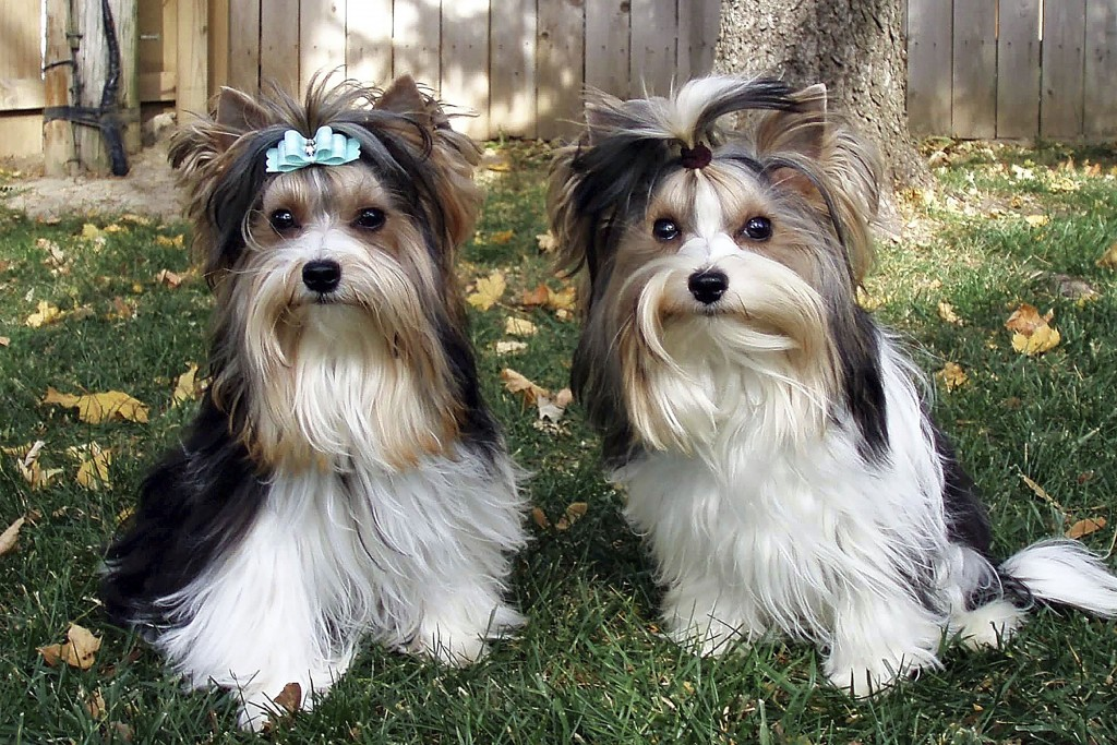 This undated photo, provided by the Biewer Terrier Club of America and American Kennel Club, shows two Biewer Terriers. The American Kennel Club annou...