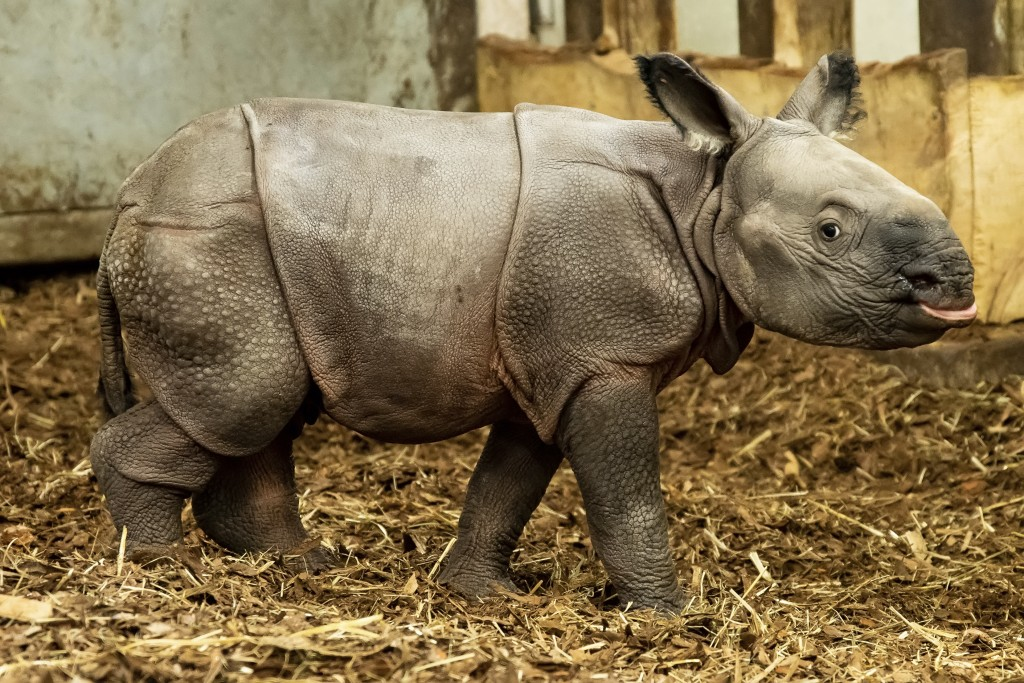 An endangered Indian rhinoceros cub stand in its enclosure in the Zoo in Wroclaw, Poland, Sunday, Jan. 10, 2021. The cub, born on Jan. 6, 2021, is the...
