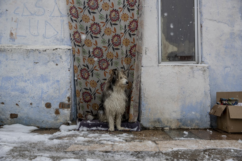 A dog stands outside a house as the snow falls at the Canada Real shanty town, outside Madrid, Spain, Friday, Jan. 8, 2021. An illegal informal settle...