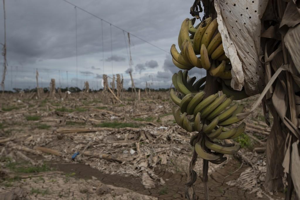 A damaged banana plantation destroyed by last year's hurricanes Eta and Iota stands in La Lima, Honduras, Wednesday, Jan. 13, 2021. (AP Photo/Moises C...
