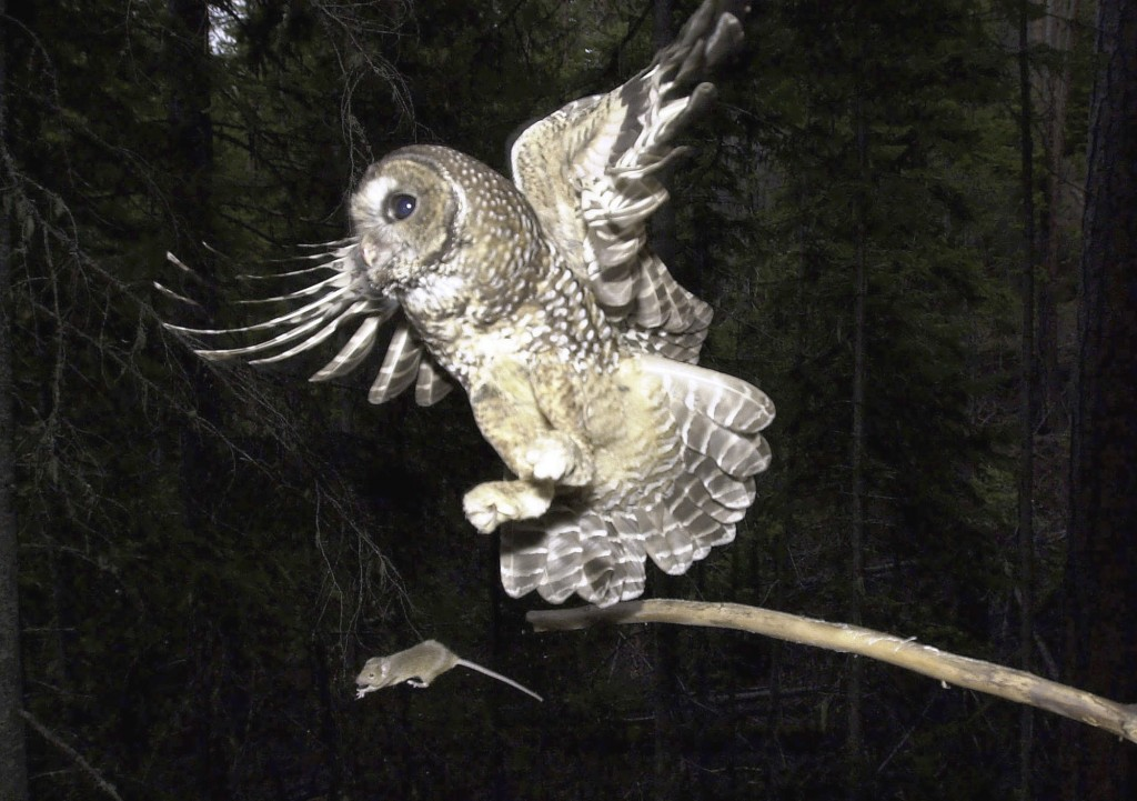FILE - In this May 8, 2003, file photo, a Northern Spotted Owl flies after an elusive mouse jumping off the end of a stick in the Deschutes National F...