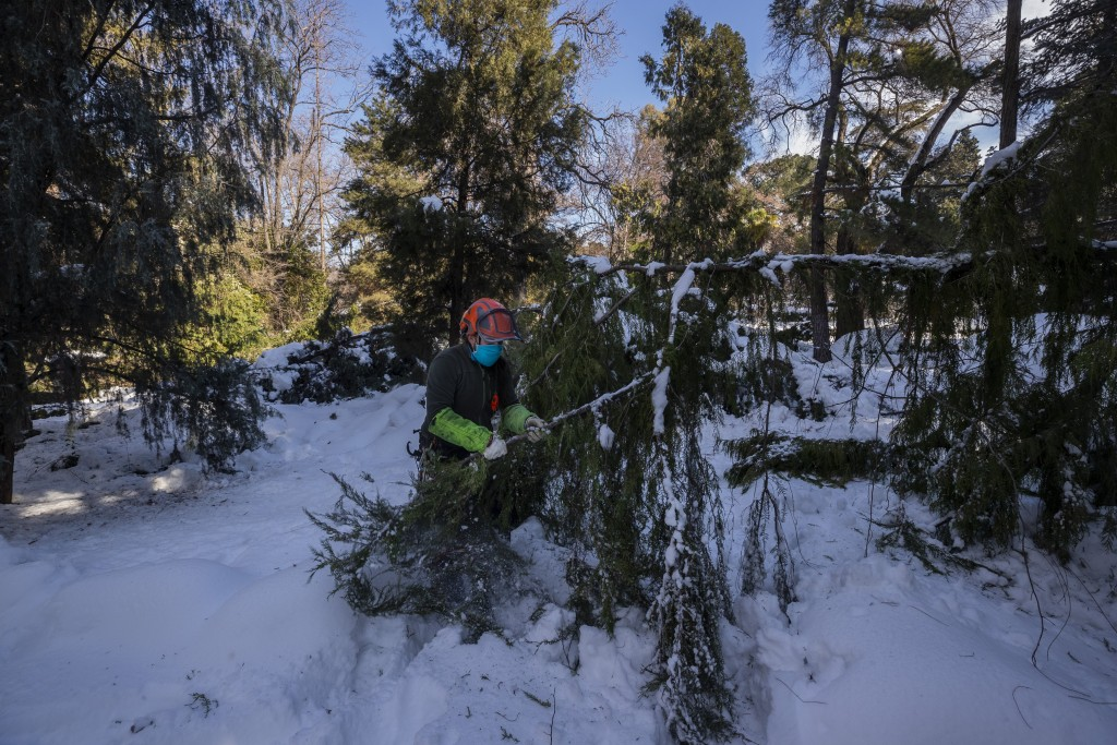 A gardener inspects a damaged tree at the botanical garden in Madrid, Spain, Thursday, Jan. 14, 2021. With piles of ice and snow still covering most s...