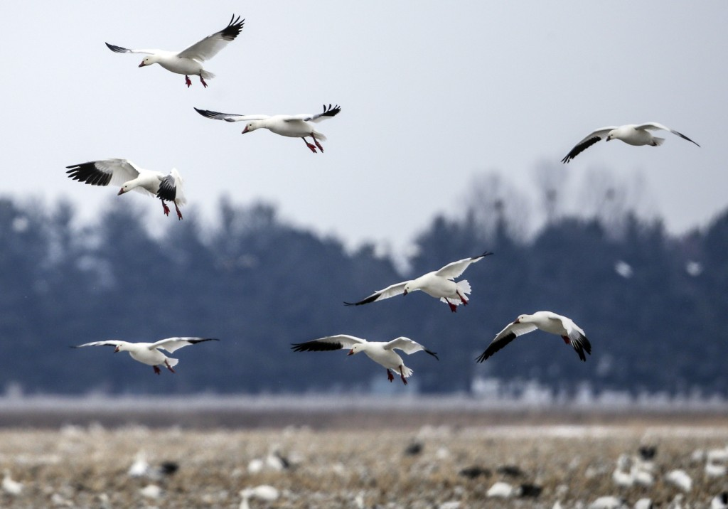 FILE - In this Wednesday, March 7, 2018 file photo, Migrating snow geese come in for a landing in a field near Onawa, Iowa. Experts say President Joe ...