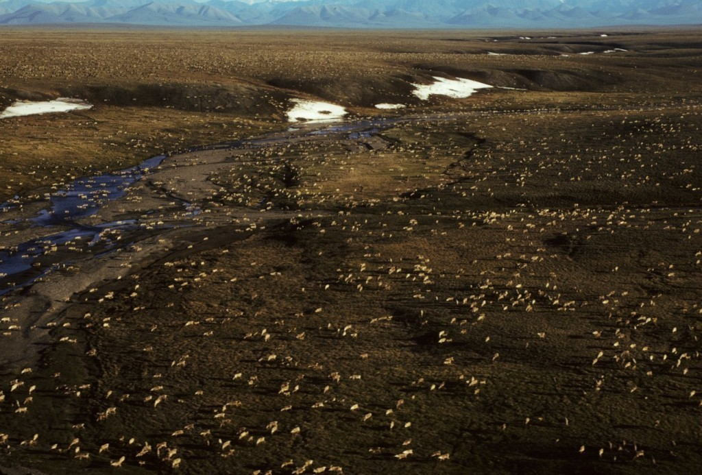 FILE - This undated aerial file photo provided by U.S. Fish and Wildlife Service shows a herd of caribou on the Arctic National Wildlife Refuge in nor...